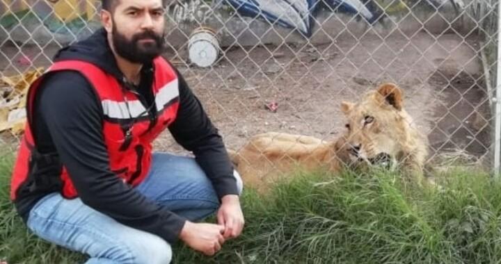 Encuentran leona  en cateo de casa del presunto feminicida de Laura Patricia