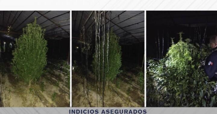 Hallan invernadero de plantas de marihuana en Quecholac