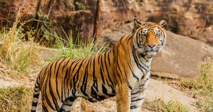 """""""El Loco Téllez"""" tenía un tigre y otros animales exóticos en su rancho"""