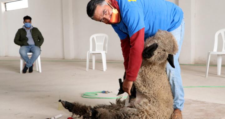 Realiza SDR taller demostrativo de trasquila a ovejas