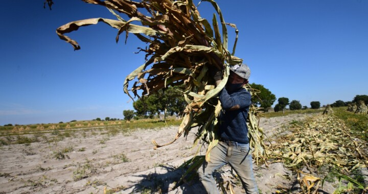 Con apoyo de Granjas Carroll de México productores duplican productividad en maíz