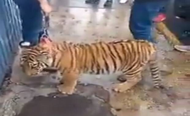Investiga PROFEPA la presencia de un tigre de bengala en Puebla