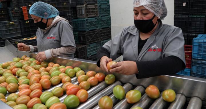 Continúa exportación de tomate poblano a EE.UU.
