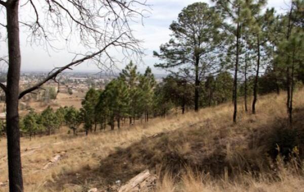 Intervienen 990 árboles dañados del Cerro Zapotecas